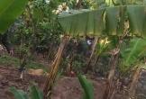 Nữ sinh lớp 10 tử vong bất thường tại vườn chuối