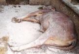Bùng phát bệnh viêm da nổi cục trên trâu bò