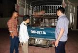 Hà Tĩnh: Bắt ô tô vận chuyển 50 con lợn giống nhiễm dịch tả lợn châu Phi