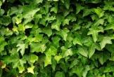 8 loại cây hút ẩm, diệt nấm mốc nên có trong nhà mùa dịch