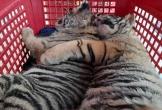 Bắt giữ 2 đối tượng đưa 7 cá thể hổ từ Hà Tĩnh ra Nghệ An tiêu thụ