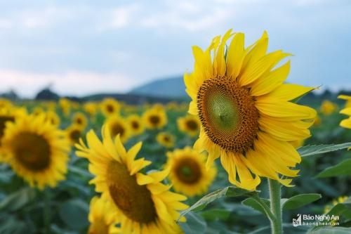 hoa hướng dương 4
