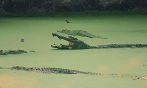 Cá sấu nước mặn đã gây ra hoàng loạt vụ tấn công người dân vài năm gần đây ở Malaysia. Ảnh: AFP.